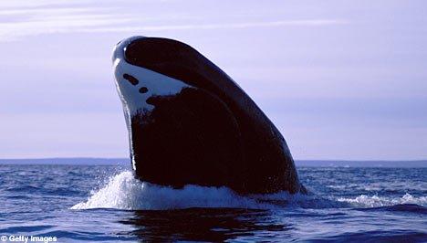 ballenas pueden vivir hasta 200 años
