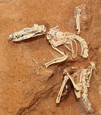 primer mamífero con placenta