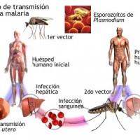 Posible hallazgo de la cura contra la malaria
