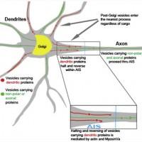 ¿Como se mueve una neurona?