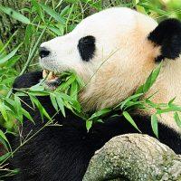 Pandas pueden ayudarnos a encontrar nuevos antibióticos mas fuertes