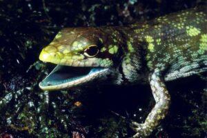 lagarto sangre verde