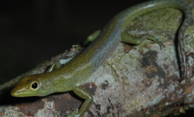 Prasinohaema virens lagarto con sangre verde de Nueva Guinea