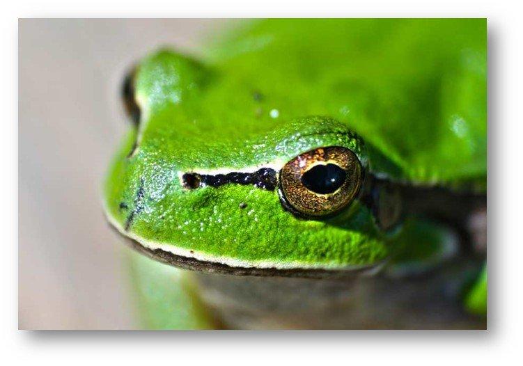rana verde biología