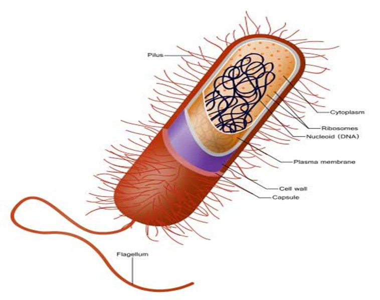 Diagrama de célula procariota. Teoria celular.