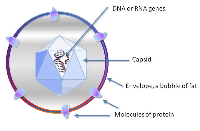 ¿Qué es un virus? Tipos y estructura 2